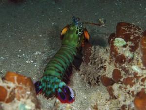 рак богомол, дайвинг на Бали