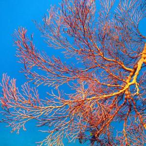 Мягкие кораллы в амеде на бали