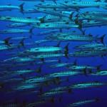 baracuda diving bali