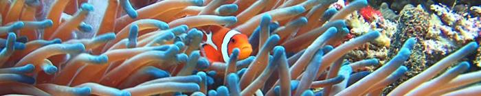 diving bali Nusa Penida clownfish дайв сайт SD point PED