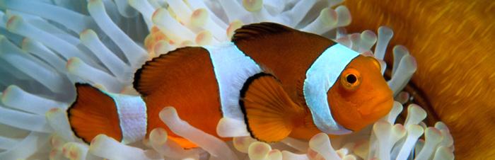 diving bali Nusa Penida рыба клоун