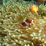 clownfish diving bali