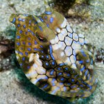 cowfish diving bali