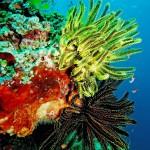 crinoid diving bali