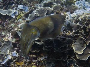 каракатица, дайвинг на Бали