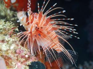 рыба крылатка, дайвинг на Бали