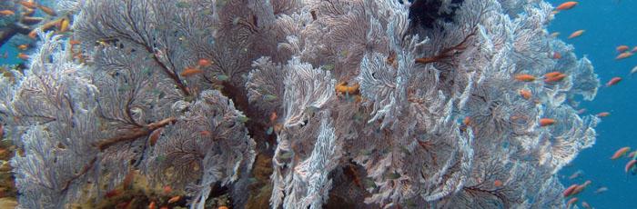 diving bali menjangan мягкий коралл
