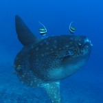 ocean sunfish mola mola diving bali