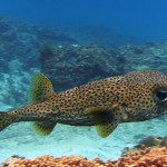porcupinefish diving Bali