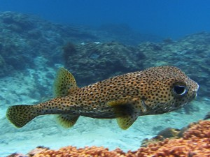 porcupinefish diving Bali