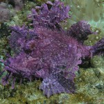 scorpionfish diving bali