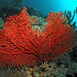 soft coral diving bali