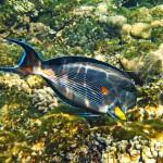 surgeonfish diving bali