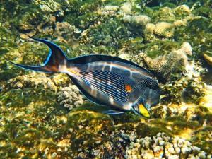 рыба хирург на дайвинге на Бали