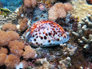 tiger cowry cypraea tigris diving Bali