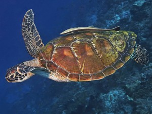 turtle diving bali