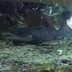 Белоперая рифовая акула в Тепеконг, Паданг Бай, Бали