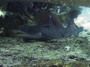белоперая рифовая акула на дайвинге на Бали