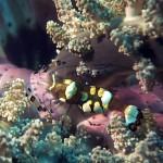 anemone shrimp diving lembeh bali