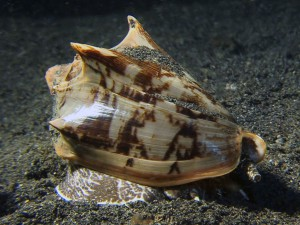 bat volute sea snail diving lembeh bali