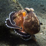 coconut octopus diving lembeh bali