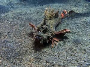devil stinger fish diving lembeh bali
