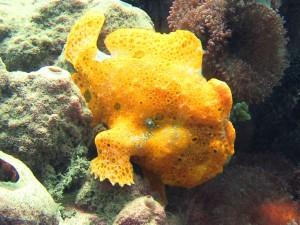 frogfish diving lembeh bali