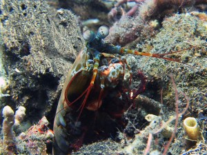 mantis shrimp diving lembeh bali
