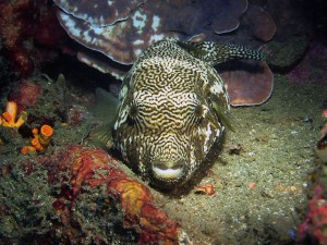 puffer fish diving lembeh bali