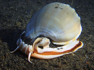 sea snail diving lembeh bali