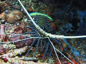лангуст, шипастый лобстер, дайвинг на Бали
