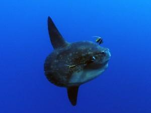 mola-mola ocean sunfish crystal bay nusa penida diving Bali