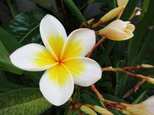 plumeria frangipani tree Bali