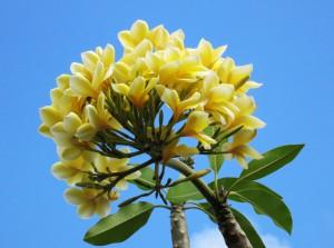 plumeria frangipani flowers Bali