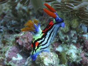 голожаберный моллюск, дайвинг на Бали
