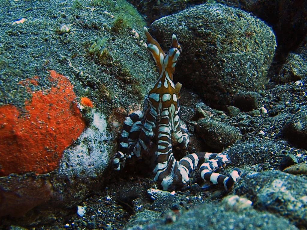 осьминог подражатель на дайвинге на Бали