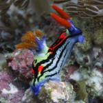 nudibranch diving bali