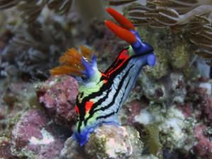 nudibranch diving bali голожаберный моллюск на дайвинге на Бали
