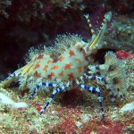 saron shrimp marble shrimp diving bali