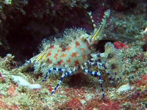 saron shrimp marble shrimp diving bali