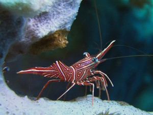 camelback shrimp diving Bali