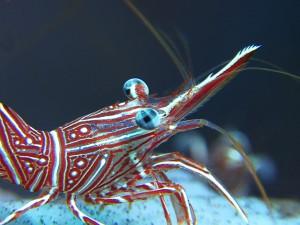 camelback shrimp diving Bali