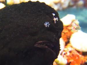 frog fish diving Bali