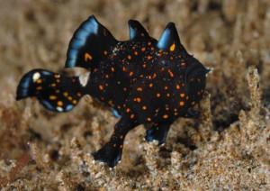 juvenile painted frogfish diving Bali