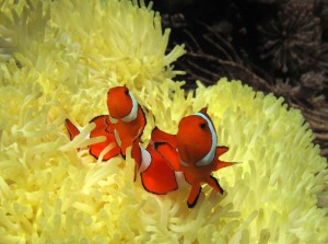 clownfish nemo diving Bali anemonefish