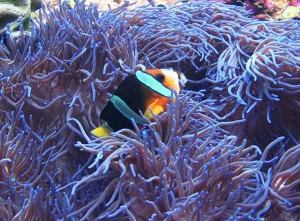 clownfish diving Bali anemonefish