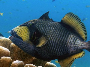 titan triggerfish trigger fish diving bali