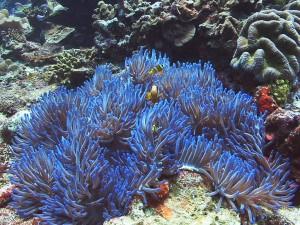 sea anemone anemonefish clownfish diving bali
