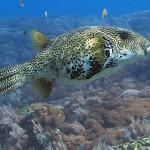 pufferfish diving bali