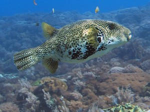 pufferfish diving bali